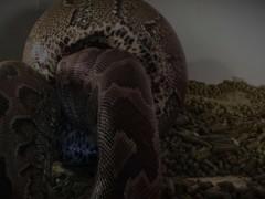 Snake Swallows Bondage Girl - Video Manipulation (OC, Proof of Concept) Thumb